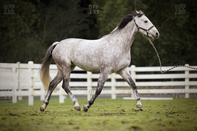 Grey horse galloping in a fenced paddock.