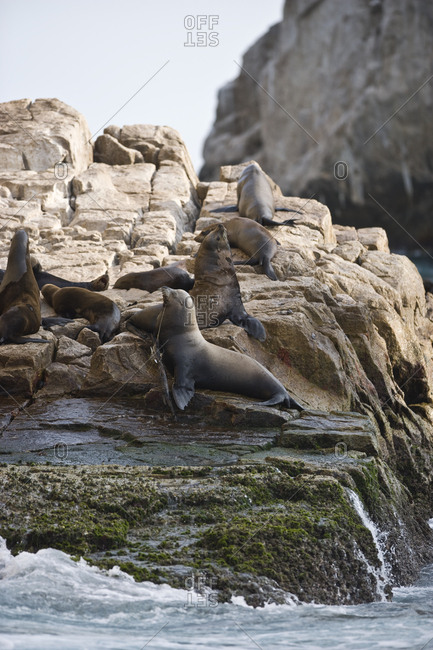 Colony of seals sunbathing on a large rock.