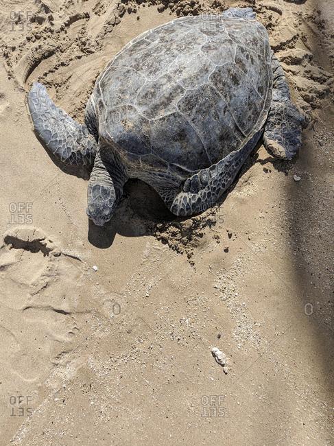 Large sea turtle on a beach