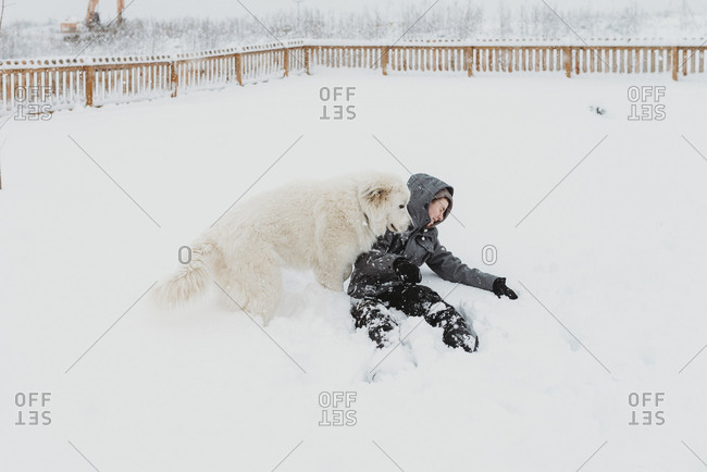 Large white dog knocking over boy while playing in the snow