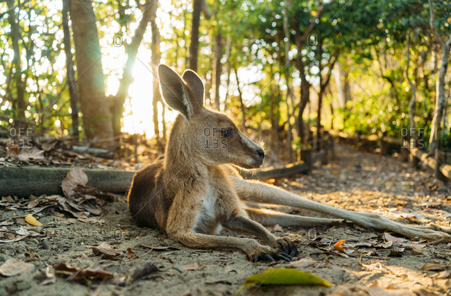 Australia- Queensland- Mackay- Cape Hillsborough National Park- kangaroo resting in forest at sunrise
