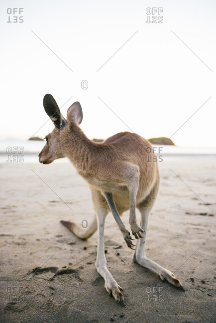Australia- Queensland- Mackay- Cape Hillsborough National Park- kangaroo on the beach