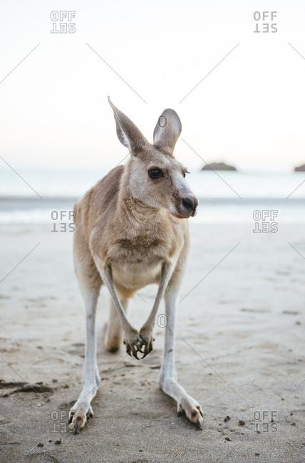 Australia- Queensland- Mackay- Cape Hillsborough National Park- portrait of kangaroo on the beach