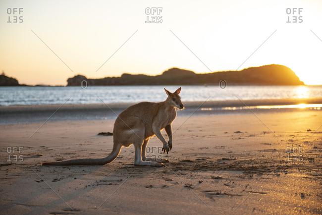 Australia- Queensland- Mackay- Cape Hillsborough National Park- kangaroo on the beach at sunrise