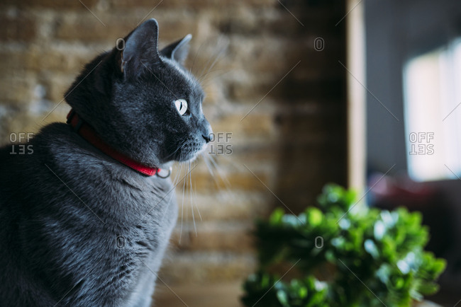 Russian blue cat looking out the window