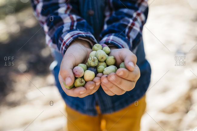 Hands of boy holding freshly picked olives