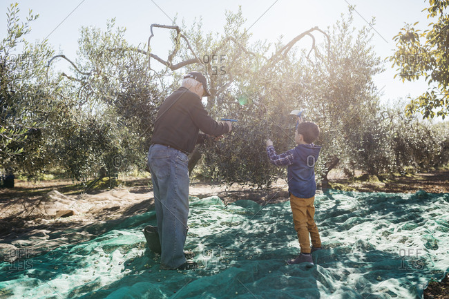Senior man and grandson harvesting olives together in orchard