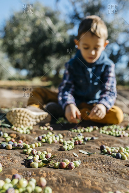 Boy playing with olives in olive orchard