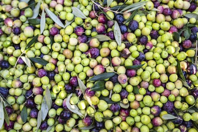 Background of freshly picked olives