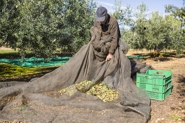 Senior man harvesting olives in orchard
