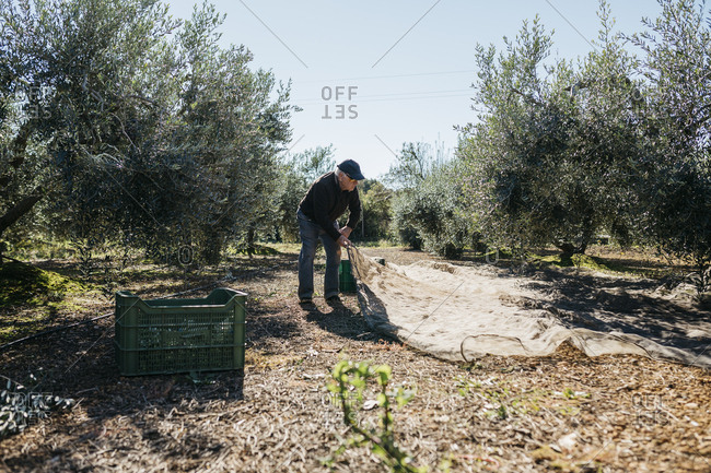 Senior man harvesting olives in orchard