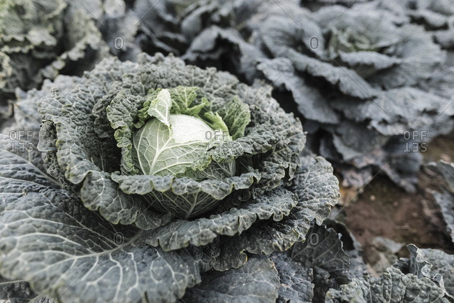 Close-up of savoy cabbage on a field