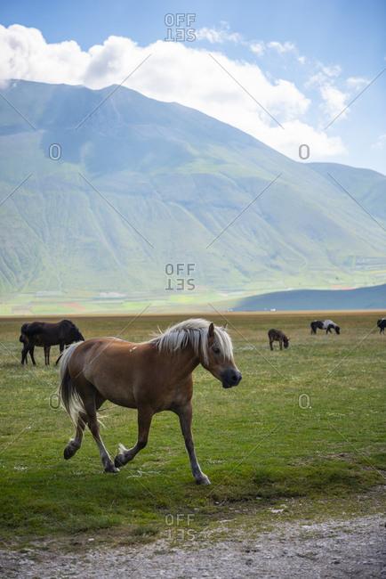 Italy- Umbria- Sibillini National Park- Horses on plateau Piano Grande di Castelluccio di Norcia