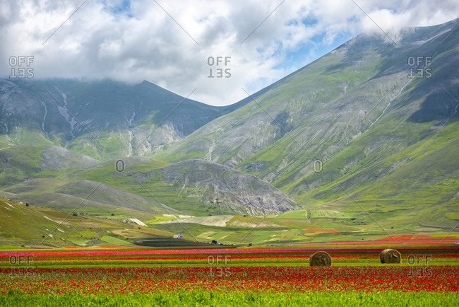 Italy- Umbria- Sibillini National Park- Blooming flowers and lentils on plateau Piano Grande