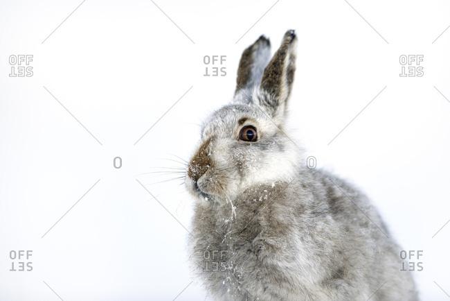UK- Scotland- portrait of Mountain Hare in snow