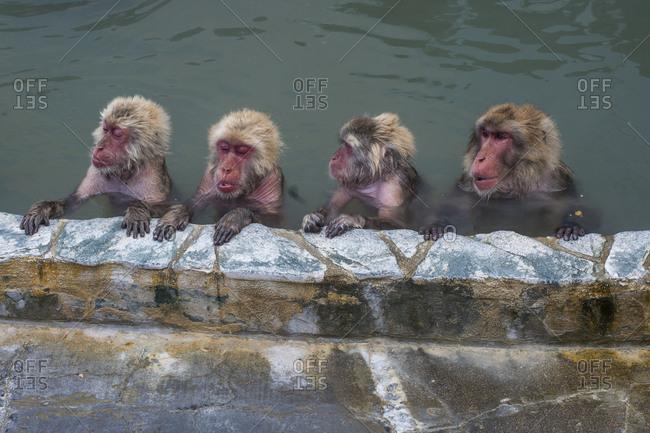 Hokkaido- Hakodate- red-faced makak in water