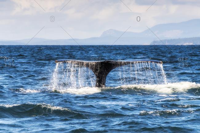 Canada- British Columbia- Strait of Juan de Fuca- Humpback Whale- tail