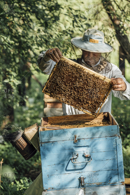 Russland- Beekeeper checking frame with honeybees