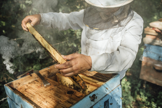 Russland- Beekeeper checking frame with honeybees- smoker and smoke