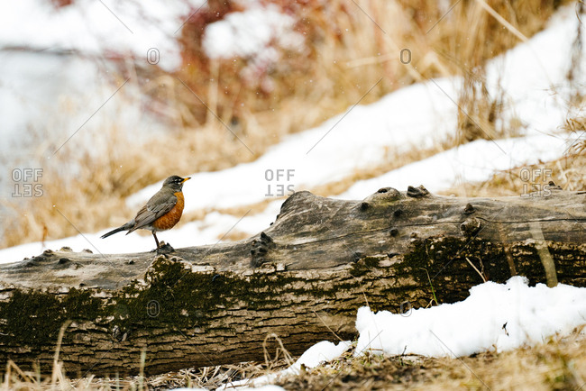 Robin perched on a log