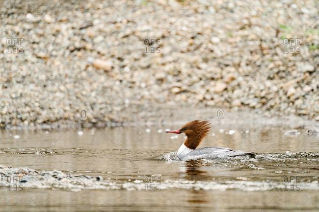 Common merganser female in the Sammamish River in Washington