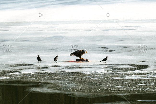 Eagle and crows surround dead animal on ice