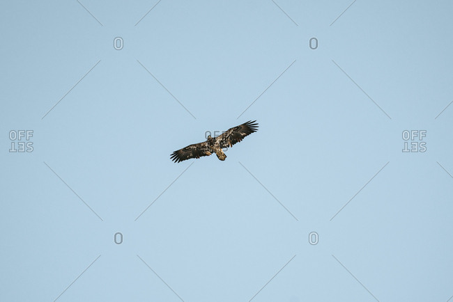 Low angle view of a juvenile bald eagle flying in a blue sky