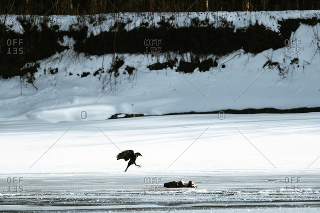 Crow flying to a dead animal on ice