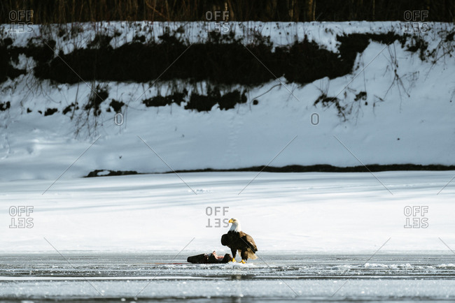 Bald eagle on ice by dead animal