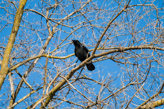 Crow perched in a bare tree
