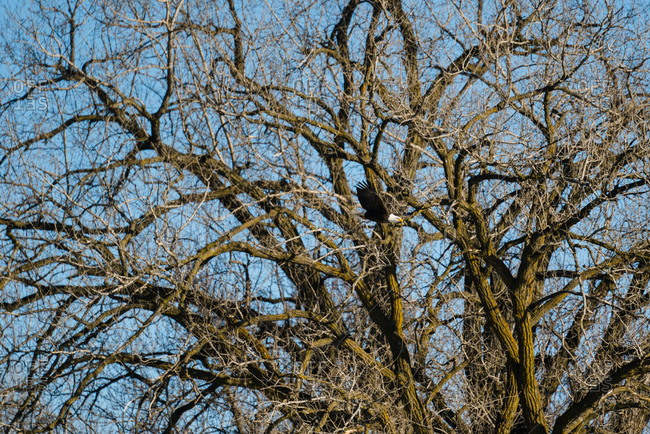 Bald eagle flying in front of tree