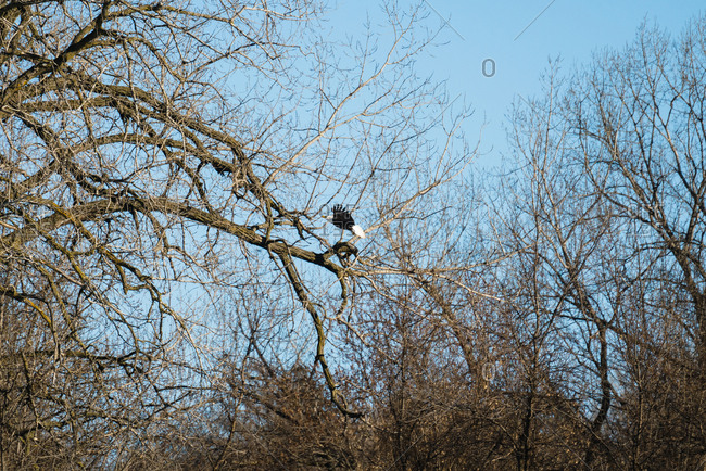 Bald eagle flying towards a tree branch to perch on