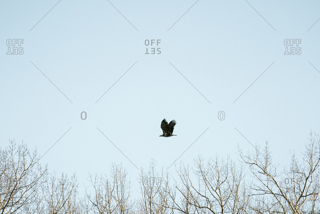 Juvenile bald eagle flying in a blue sky