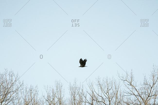Juvenile bald eagle flying in a blue sky