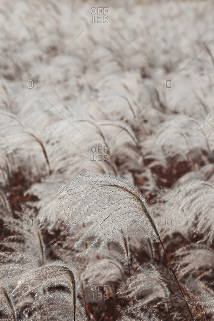 The pinnacle of the white Silver Grass
