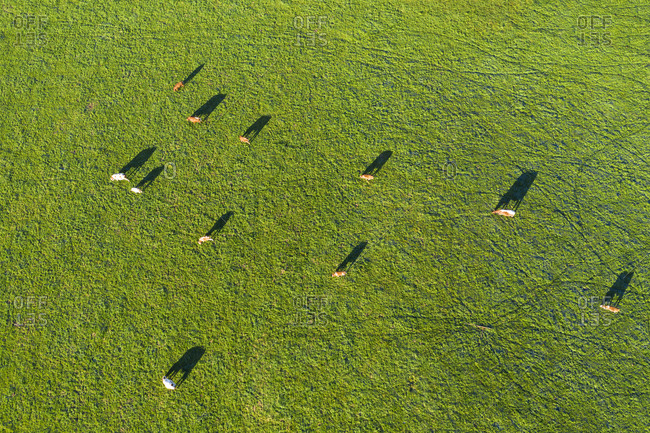 Germany- Upper Bavaria- Aerial view of cows on pasture near Muensing