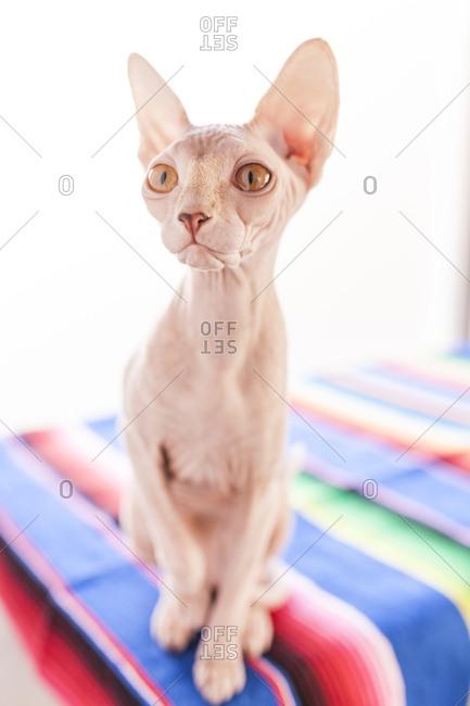 Close up of a Sphinx Cat, look at camera