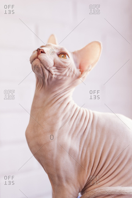 Close up of a Sphinx Cat, look up