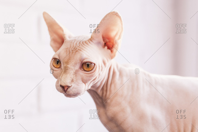 Close up of a Sphinx Cat, look left