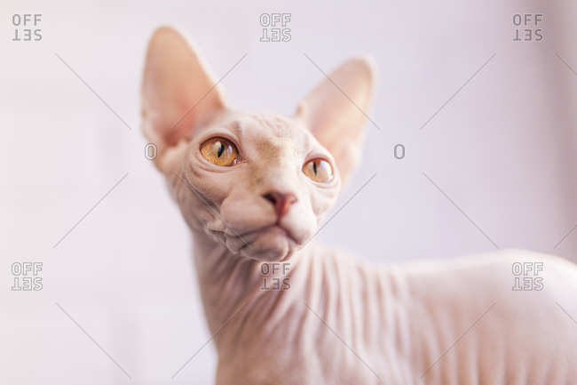 Close up of a Sphinx Cat, look right