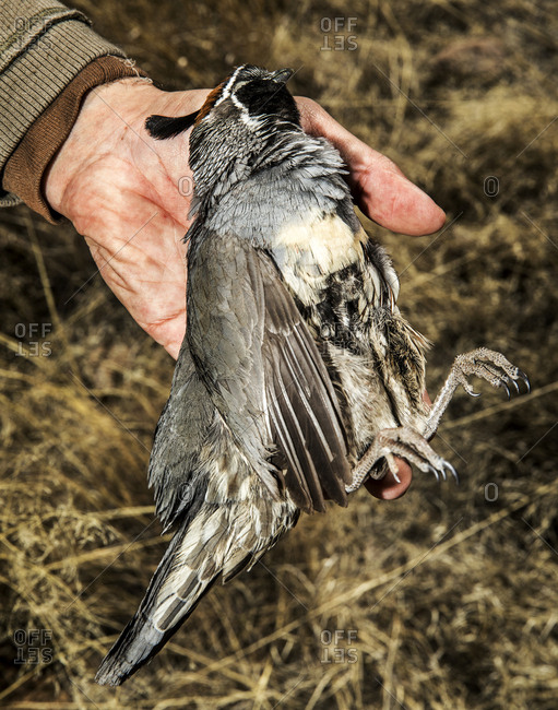 Adult hand holds a dead quail