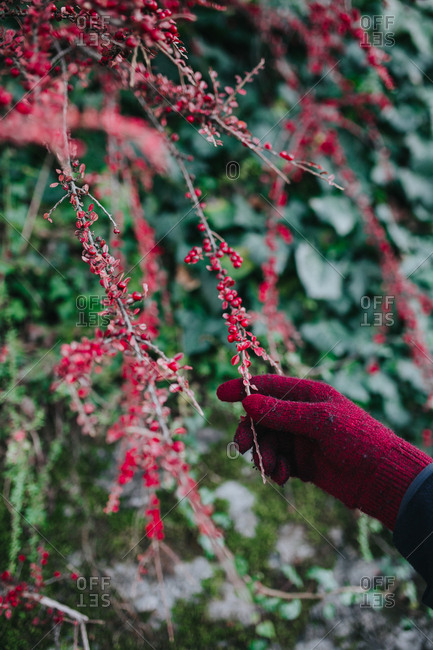 Person wearing gloves holding colorful plant full of berries.