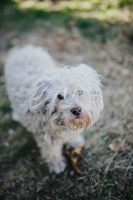 Portrait of a matted white dog looking into the camera.