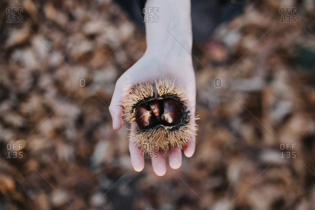View from above of a woman's hand holding chestnuts fresh from a tree.
