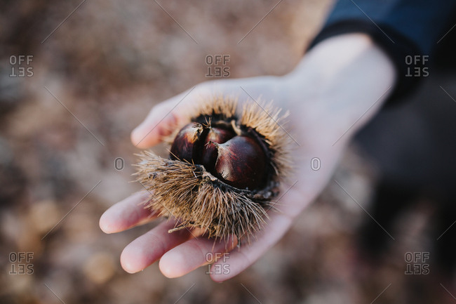 Detail of a woman's hand holding chestnuts fresh from a tree.