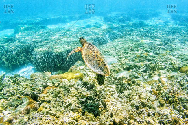 Australia, Queensland, lady elliot island, Sea turtle swimming in the great barrier reef