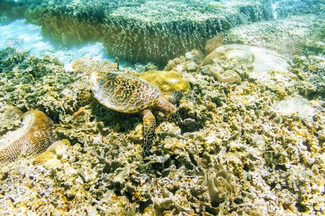 Australia, Queensland, lady elliot island, Sea turtle swimming in the great barrier reef