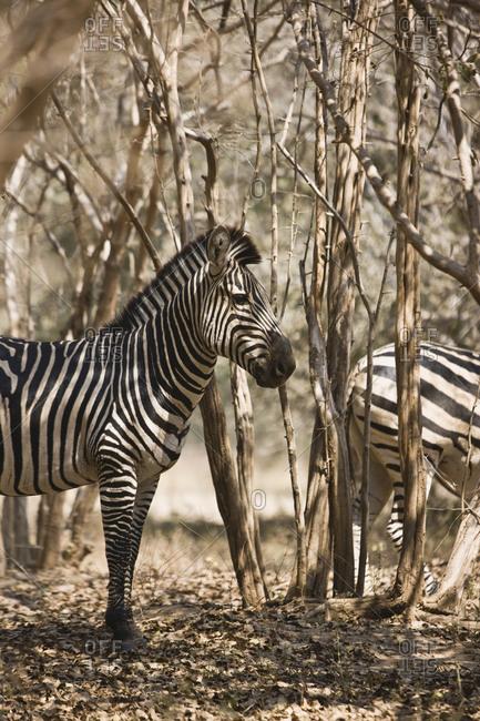 Zebras in the bush in the Highveld.