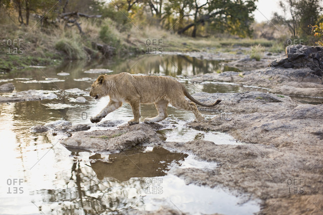 Lion walking toward a pond.