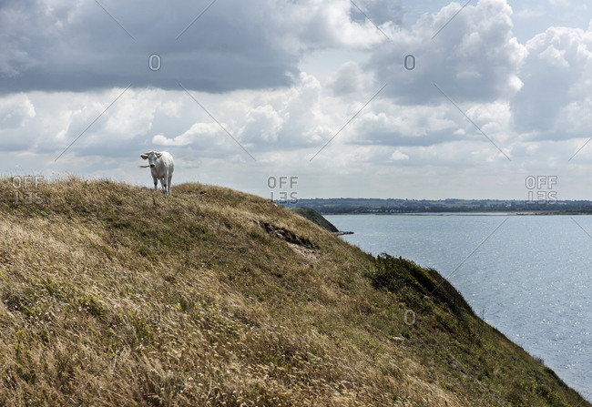 Cow on a hill above river